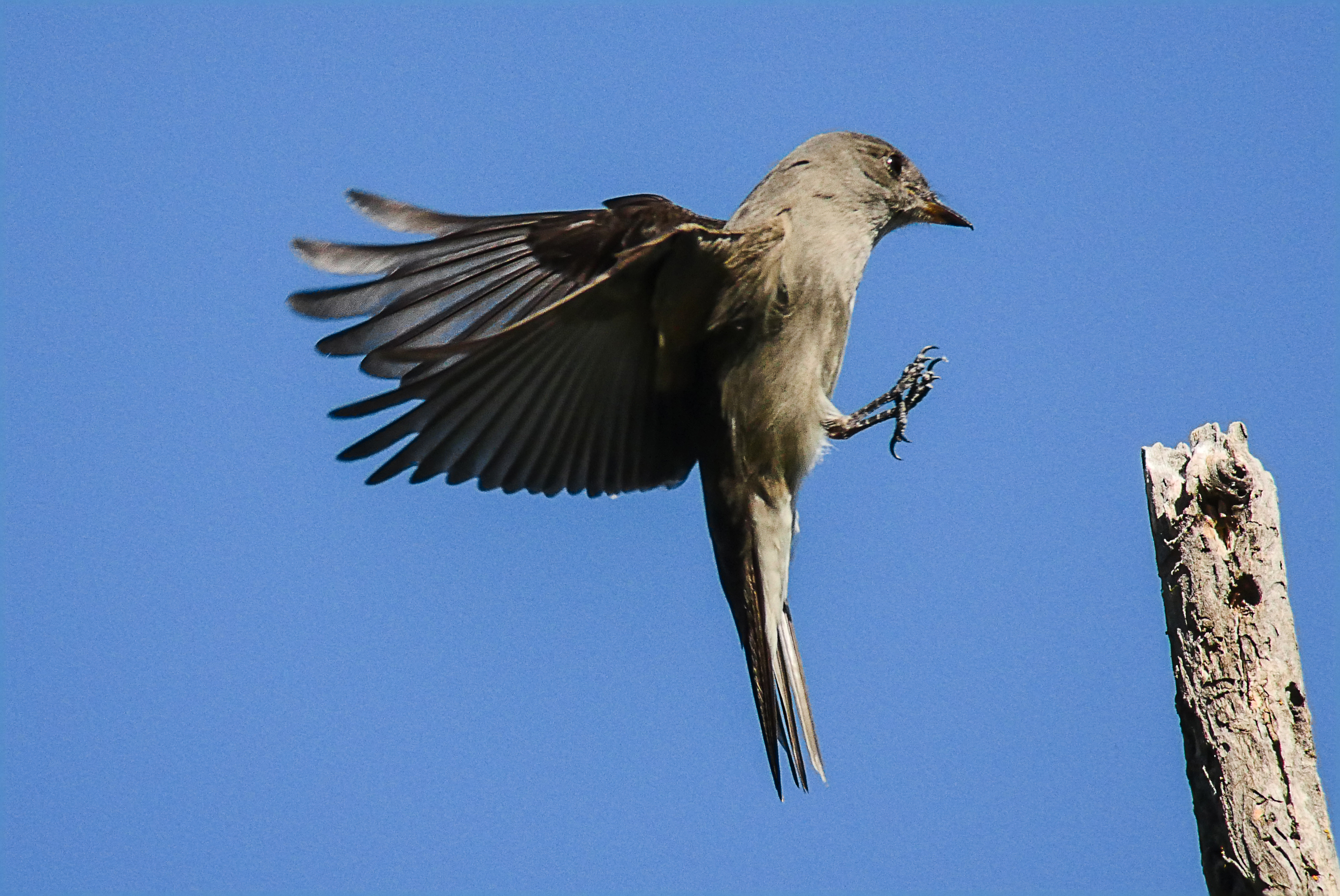 flycatcher812